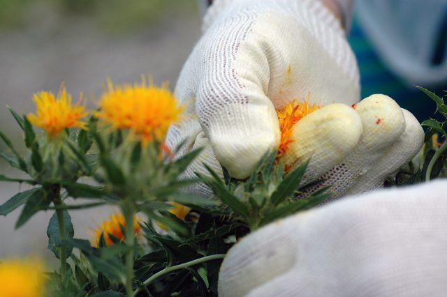 花弁を摘み取る。