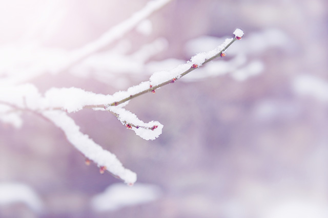 木の枝雪  梅 紅梅