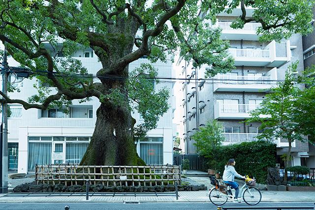 司馬遼太郎が週刊朝日で連載した歩き旅シリーズ「街道をゆく」にも登場して有名になったクスノキ