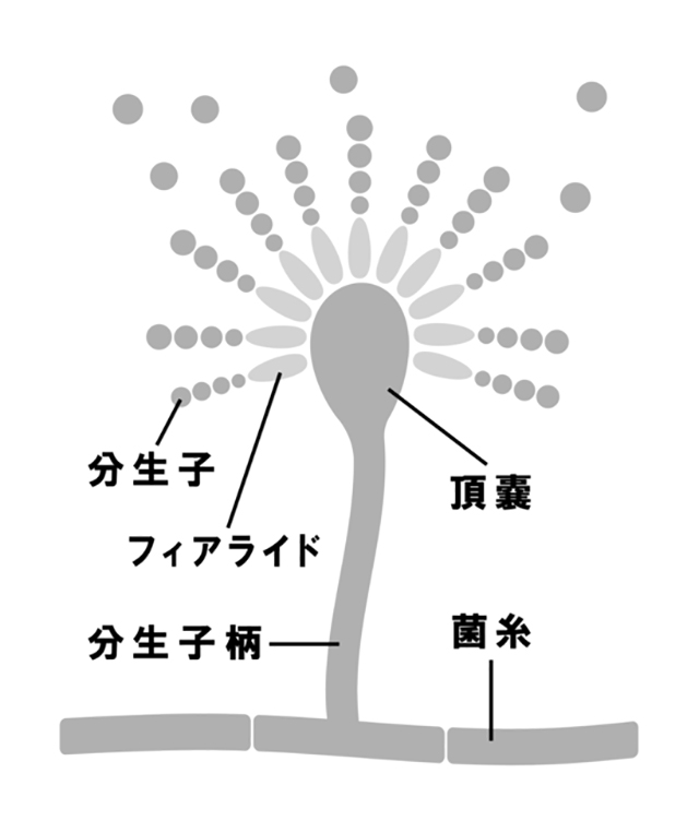 This would also help Koji-kin to change its character to create more spores, which means aerial mycelia become shorter. The shorter the aerial mycelium is, the faster the spore grows.