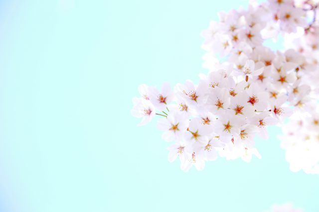 【清明】桜甘酒と酒粕パン:発酵ワクワク大使の二十四節気レシピ