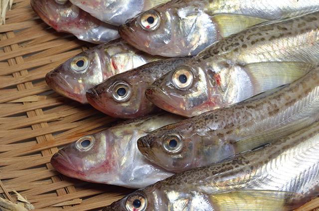 日本三大魚醤のひとつ、秋田県の「しょっつる」に使われる、秋田県の県魚ハタハタ