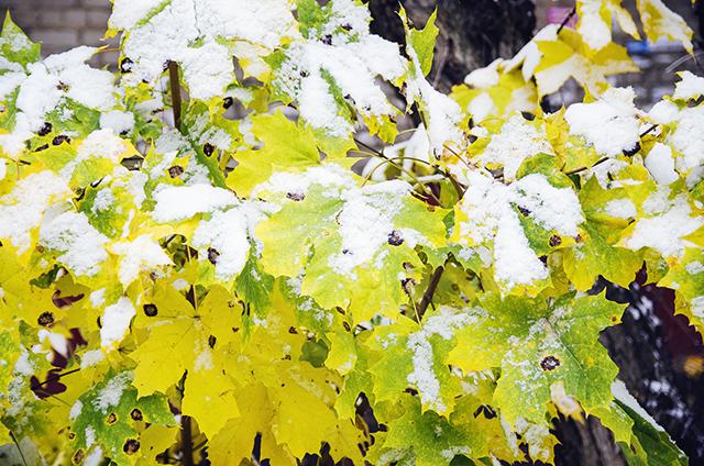 初冬の雪をまとった緑の葉