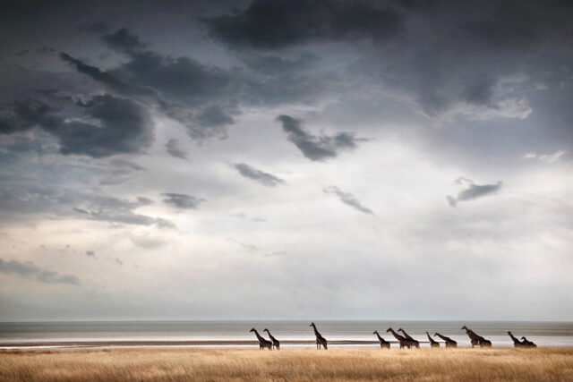 Giraffes:Simply African Fermentation