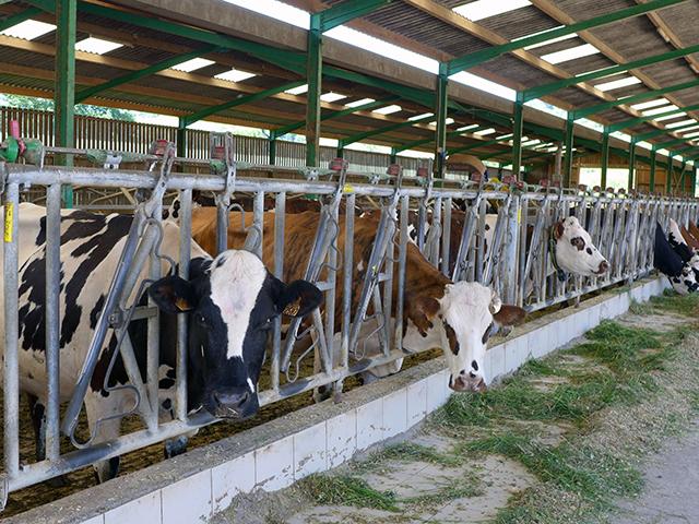 約90頭のノルマン種牛が毎日1800リットルのミルクを生産