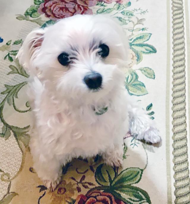 香坂家の愛犬(8歳のマルチーズ)