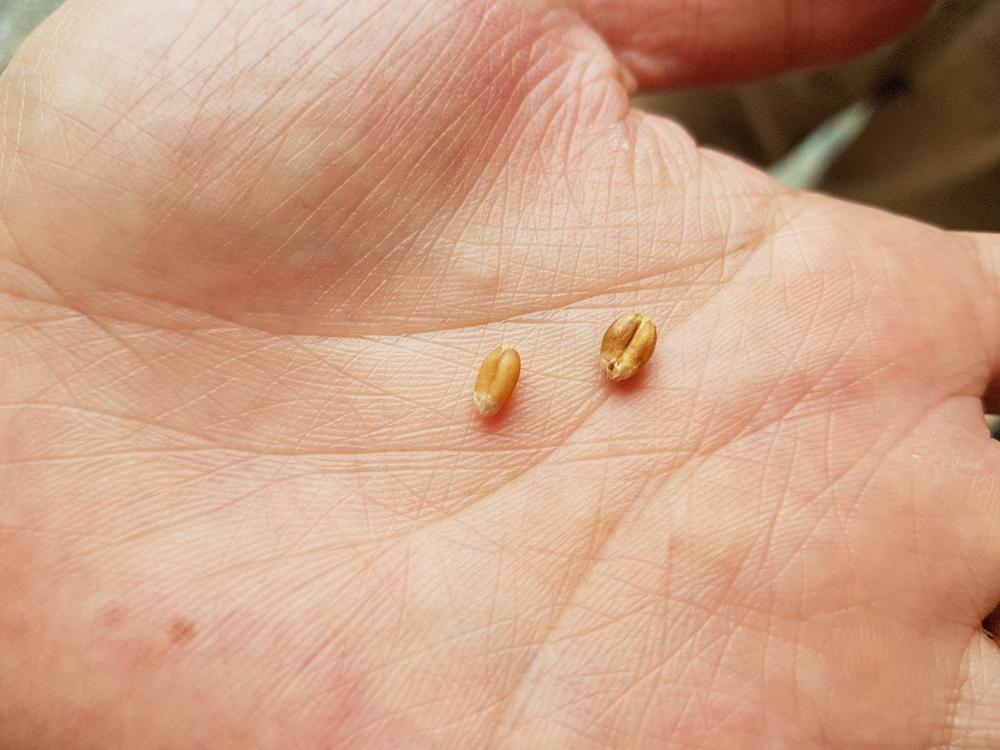 左が炒る前の小麦、右が炒った後の小麦。ぷっくりしているのが分かりますね
