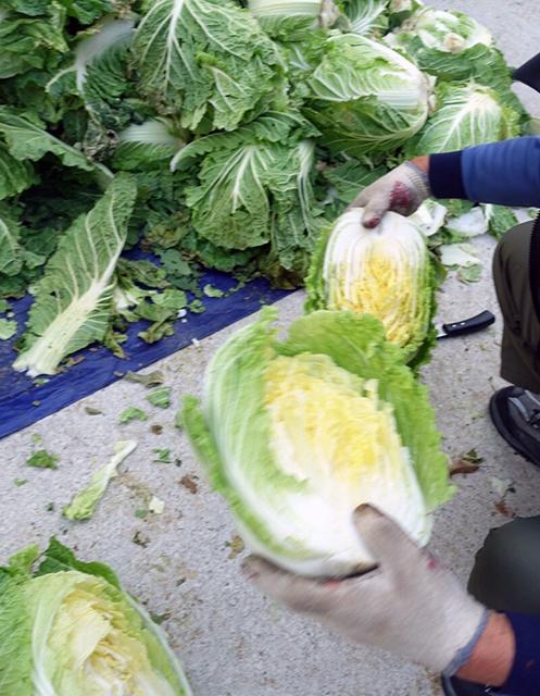 白菜を切る(割く):キムジャン(キムチ作り)